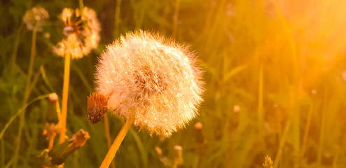 Fluffy dandelion in the light of the sun and the setting rays. Dew drops on fluff. Coloring screensaver. Fototapete