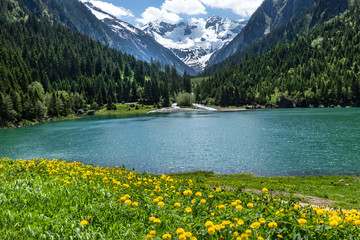 Wall Mural - Amazing alpine landscape with green mountain lake, yellow flowers and snowy peak in the background. Austria, Tirol, Stillup Lake, Stillup reservoir