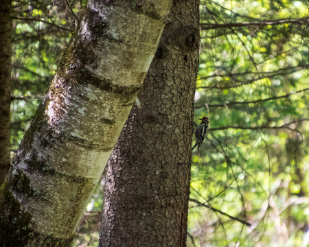 Yellow-bellied sapsucker woodpecker mid-peck on an evergreen tree in the Northwoods