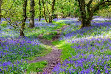 Fotobehang Bossen Beautiful bluebells in the forest of Scotland