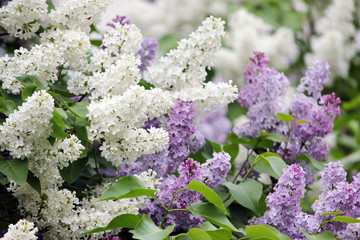 Beauty the blooming vinous or white lilac