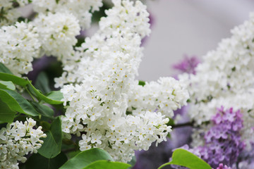 Beauty the blooming blue or white lilac