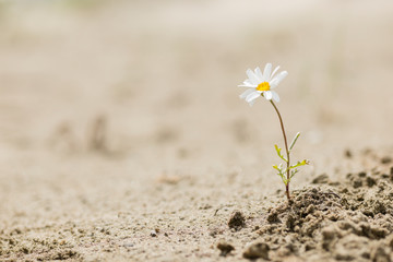 Daisy flower blooming on a sand desert