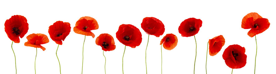 Foto op Canvas Poppy Beautifull poppies flowers on white background