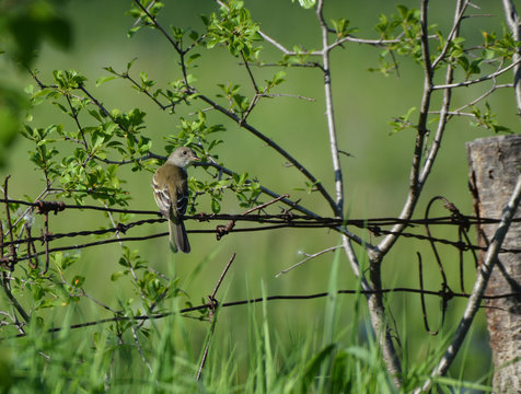 Acadian Flycatcher on wire fence