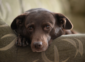 Cute snuggling brown dog on sofa. Domestic environment. Homy pet on couch. Portrait of fawning shaggy pet in homelike background.