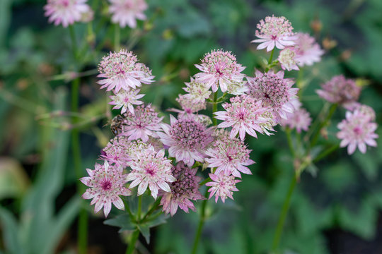 macro shot of pink flowers of astrantia major showing many details like pistils and pollen