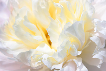 Flower and petals of white peony for background close-up. View from above.
