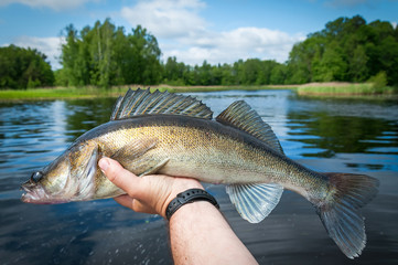 Swedish summer zander fish