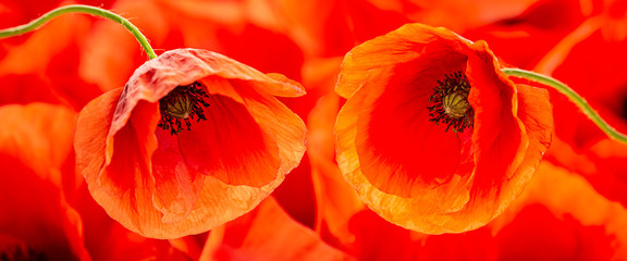 Foto auf Acrylglas Mohn poppy flower - common poppy - Papaver rhoeas