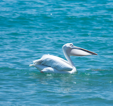 young white pelican swimming  on blue sea