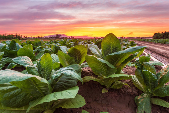 View of young green tobacco plant in field