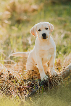 Labrador retriever puppy in the yard at the forest