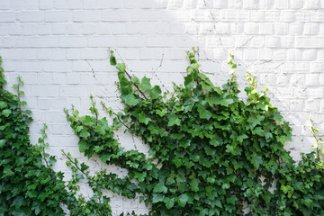 White brick wall overgrown with green ivy. Natural background with empty space