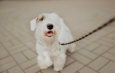 White Sealyham Terrier in the park walking on a leash Wall mural