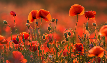 natural composition of blooming red poppies
