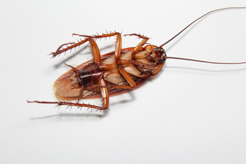 Roaches lie dead on wooden floor, Dead cockroach ,Close up face , Close up roaches Wall mural