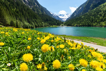 Wall Mural - Idyllic summer landscape with mountain lake and yellow dandelion flowers in the foreground. Austria, Tyrol, Stillup Lake, Zillertal