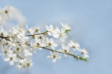 Wall Mural - white cherry tree flower in spring