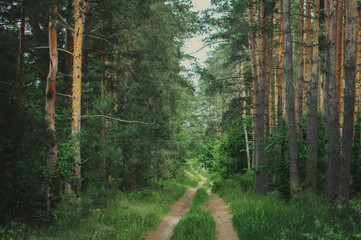 green Siberian forest in summer