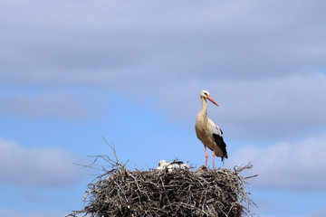 Stork in a nest with a baby on a spring day