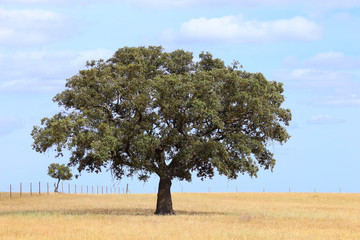 Cork tree in a field in a spring day