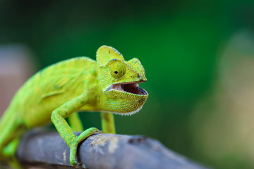 Papiers peints Cameleon Green chameleon india