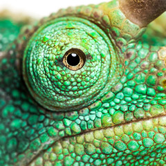 Eye close-up on a Jackson's horned chameleon