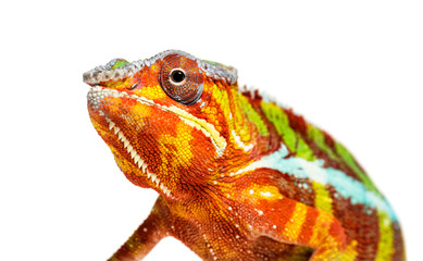 Panther chameleon, Furcifer pardalis, in front of white