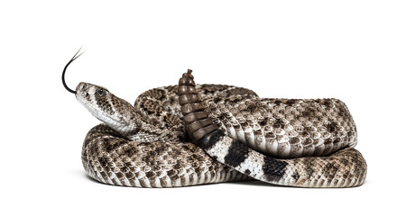 western diamondback rattlesnake or Texas diamond-back in front of white