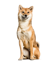 Wall Mural - Shiba Inu sitting against white background