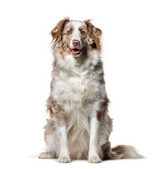 Fototapete - Border Collie , 2 years old, sitting against white background