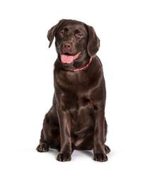 Fototapete - Labrador sitting against white background