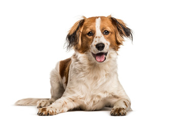 Wall Mural - Mixed-breed dog looking at camera against white background
