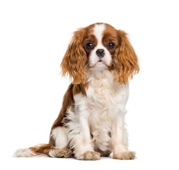 Wall Mural - Puppy Cavalier King Charles Spaniel, dog