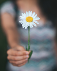 Woman Hands Holding a  big white chamomile flower