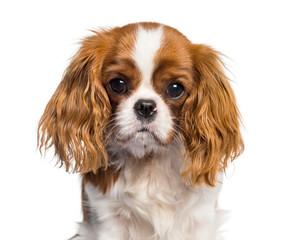 Wall Mural - Puppy Cavalier King Charles Spaniel, dog