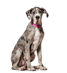 Fototapete - Great Dane sitting against white background