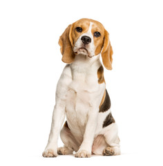 Fototapete - Beagles dog sitting against white background
