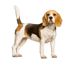 Wall Mural - Beagles dog standing against white background