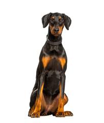 Fototapete - Doberman dog sitting against white background