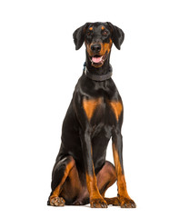 Wall Mural - Panting Doberman dog sitting against white background
