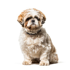 Fototapete - Shih Tzu sitting against white background