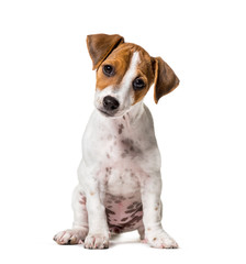 Wall Mural - Two months old puppy Jack Russell terrier dog sitting against wh