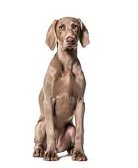 Fototapete - Weimaraner dog sitting against white background