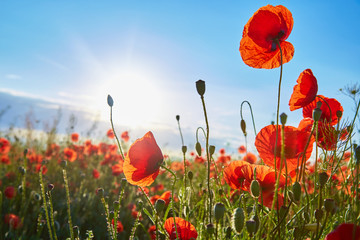 A field of flowering poppies on a bright sunny day. Picture on postcard