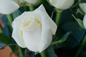 Bud of elegant fresh White rose bouquet