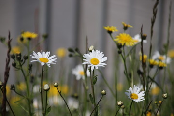 white wild long daisy flowers in a park in Utrecht in the Netherlands