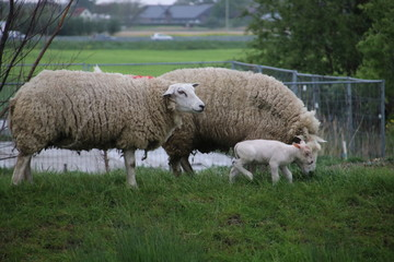 White and black sheeps with lamb on a meadow in Stompwijk the Netherlands