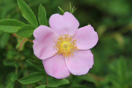 beautiful pink flower of wild rose on a background of green